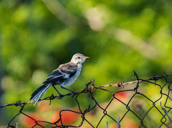 The Mockingbird Revisited